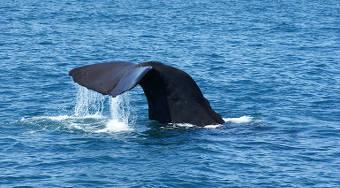 Kaikoura Wale