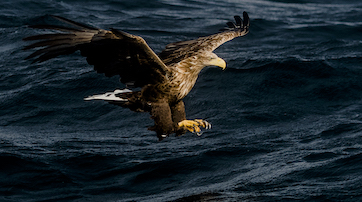 Seeadler in den Lofoten